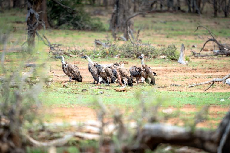 vultures huddled around a kill