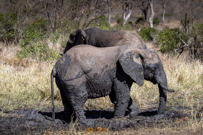 Two elephants playing in the mud