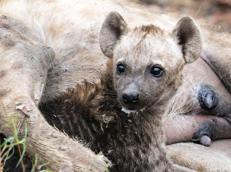 milky-faced-Hyena