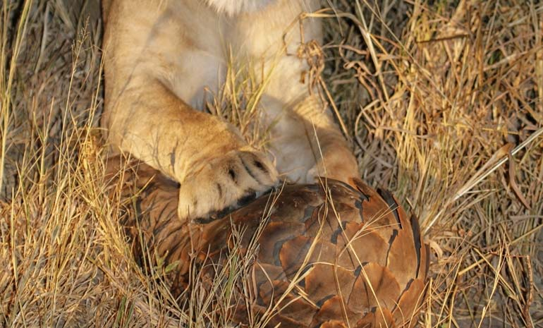 lion paws on a pangolin rolled up into a ball