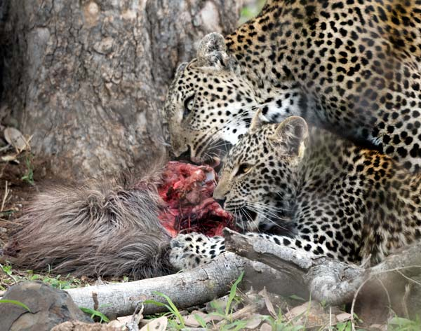 mother-and-cub-leopard