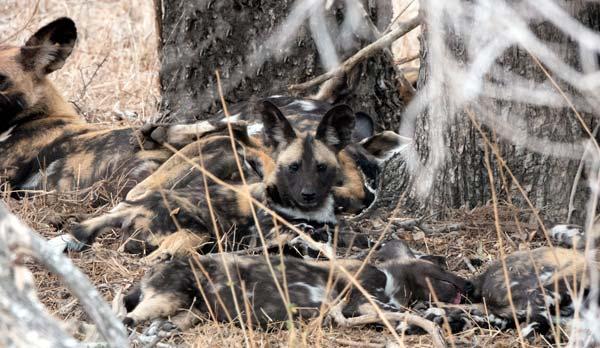 wild dog pups in Kruger Natiional Park