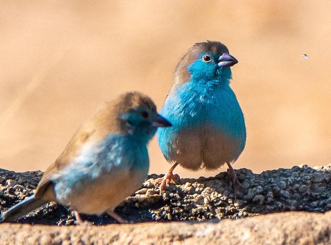 2 x blue Waxbill_Birds in Kruger National Park