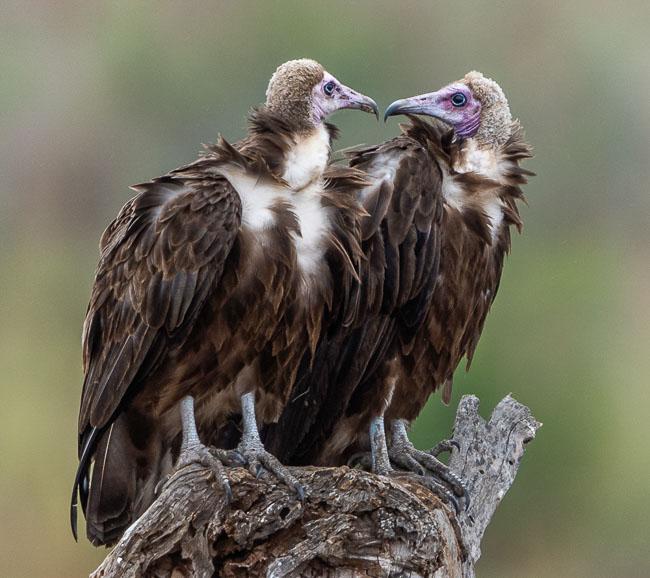 2 x hooded vultures_Birds in Kruger National Park