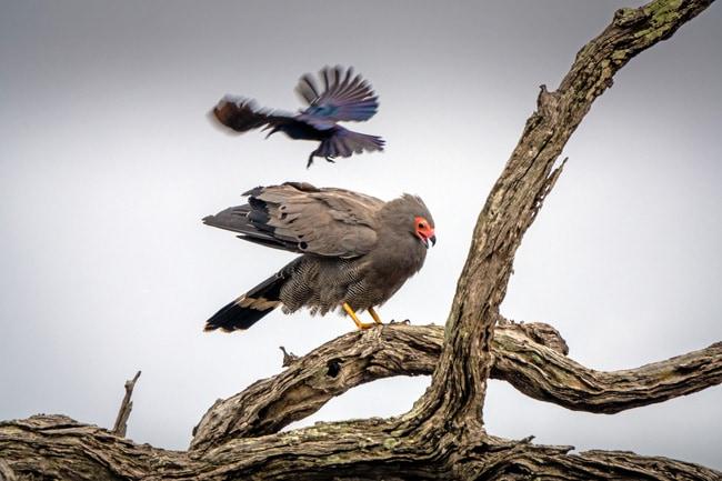 African-Harrier-Hawk_Birds-in-Kruger-National-Park