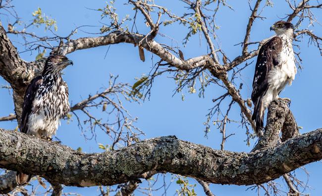 African-Hawk-Eagle-x-2_Birds in Kruger National Park