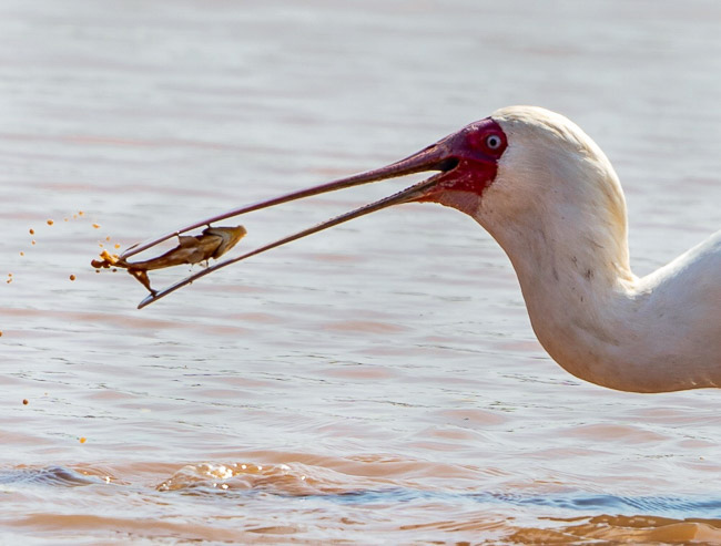 African-Spoonbill-with-a-fish-in-beak_Birds in Kruger National Park