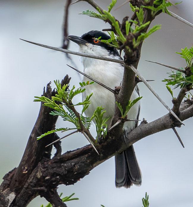 Black-backed-Puffback_Birds in Kruger National Park