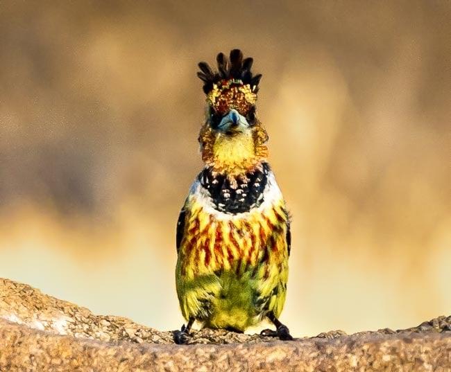 Crested Barbet_Birds in Kruger National Park