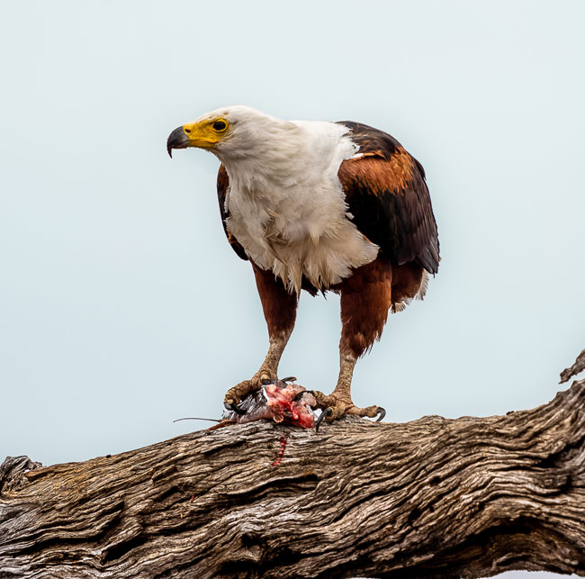 Fish-Eagle-with-half-catfish-in-tree_Birds in Kruger National Park