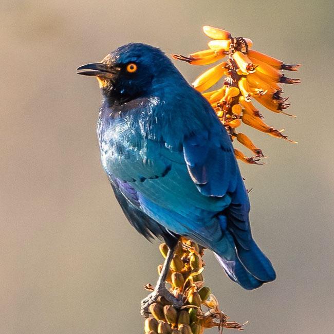 Greater Blue Eared Starling on Aloe bush_Birds in Kruger National Park
