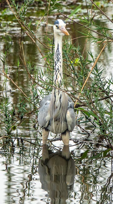 Grey-Heron_Birds in Kruger National Park
