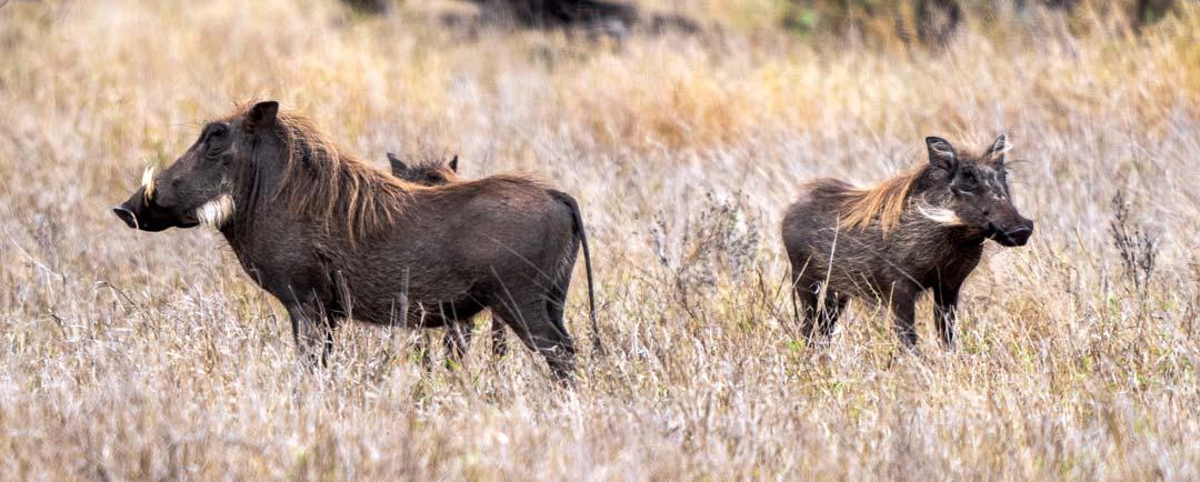 two warthog in Kruger National Park