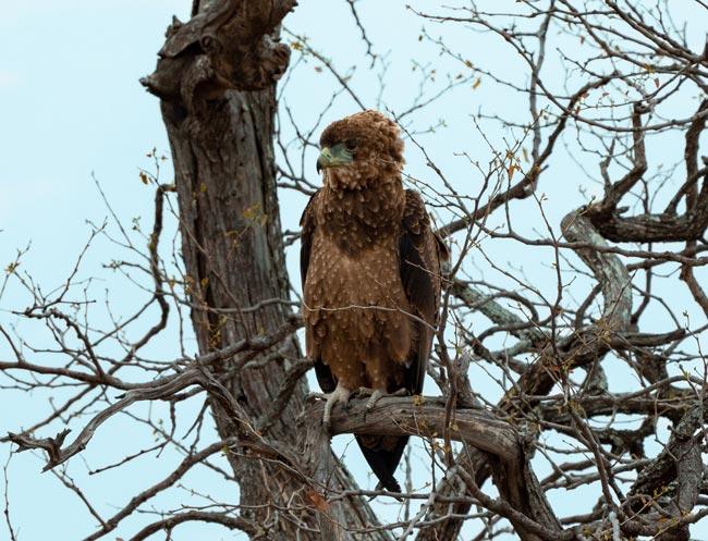 Juvenile-Bateleur_Bird-of-Kruger-National-Park