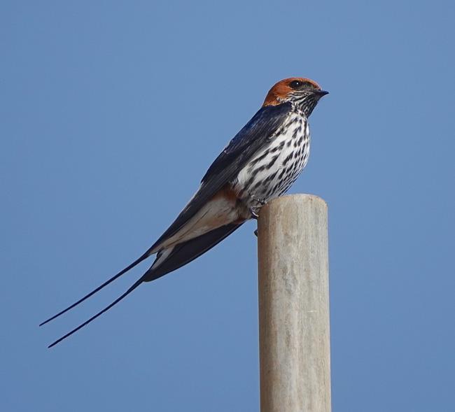 Lesser Striped Swallow_Birds in Kruger National Park