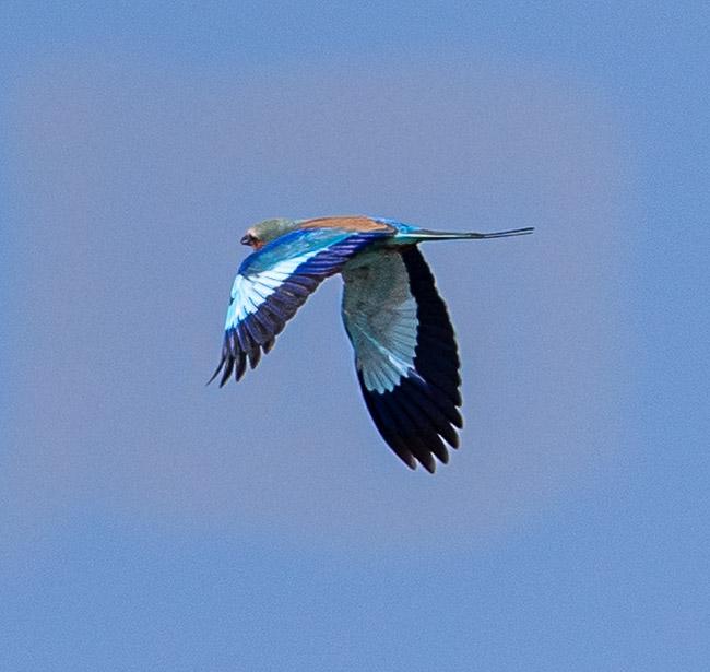 Lilac breasted roller in flight_Birds in Kruger National Park