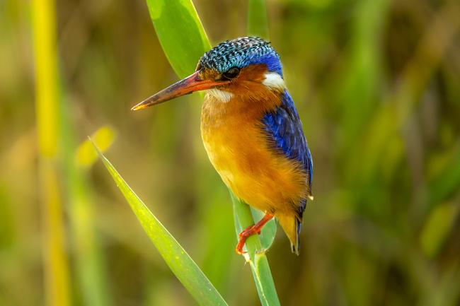 Malachite-Kingfisher_Birds in Kruger National Park