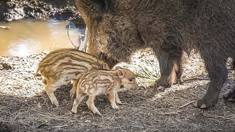 PArque-biologico-wildboar