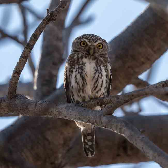 Pearl Spotted Owlet_Birds of Kruger National Park