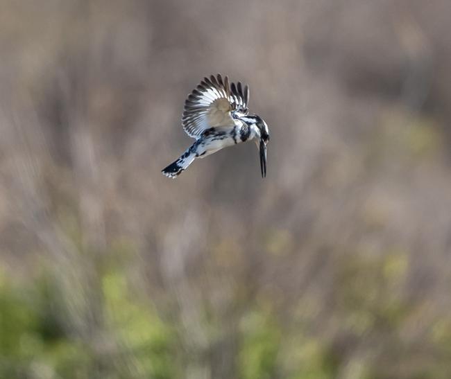 Pied-kingfisher-in-hover-mode_Birds in Kruger National Park