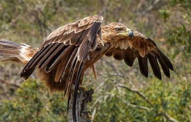 Tawny Eagle wings half out_Birds of Kruger National Park