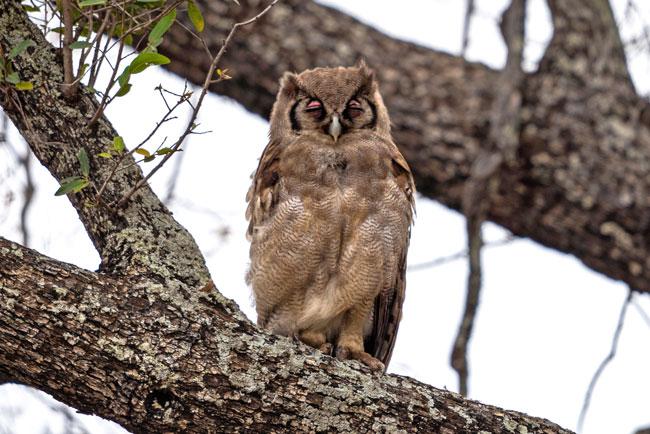Verreauxs-eagle-owl_Birds-of-Kruger-National-Park