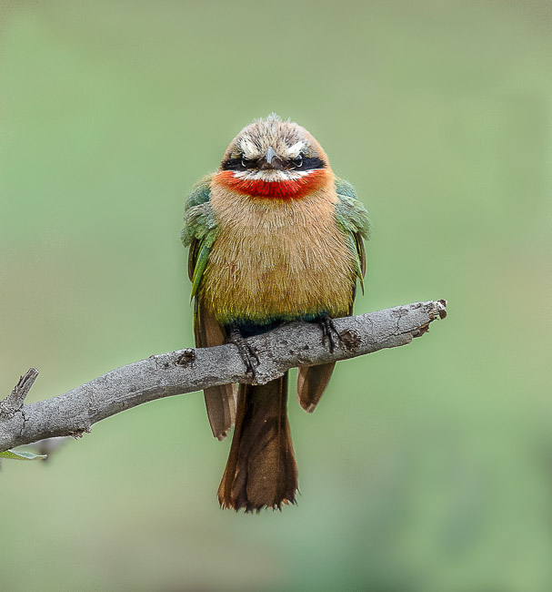 White Fronted Bee Eateer looking straight at camera_Birds in Kruger National Park